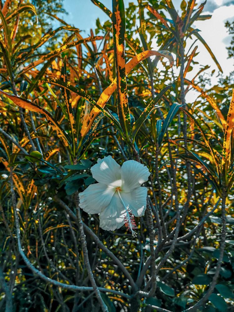 Fleur de Tanna au Vanuatu