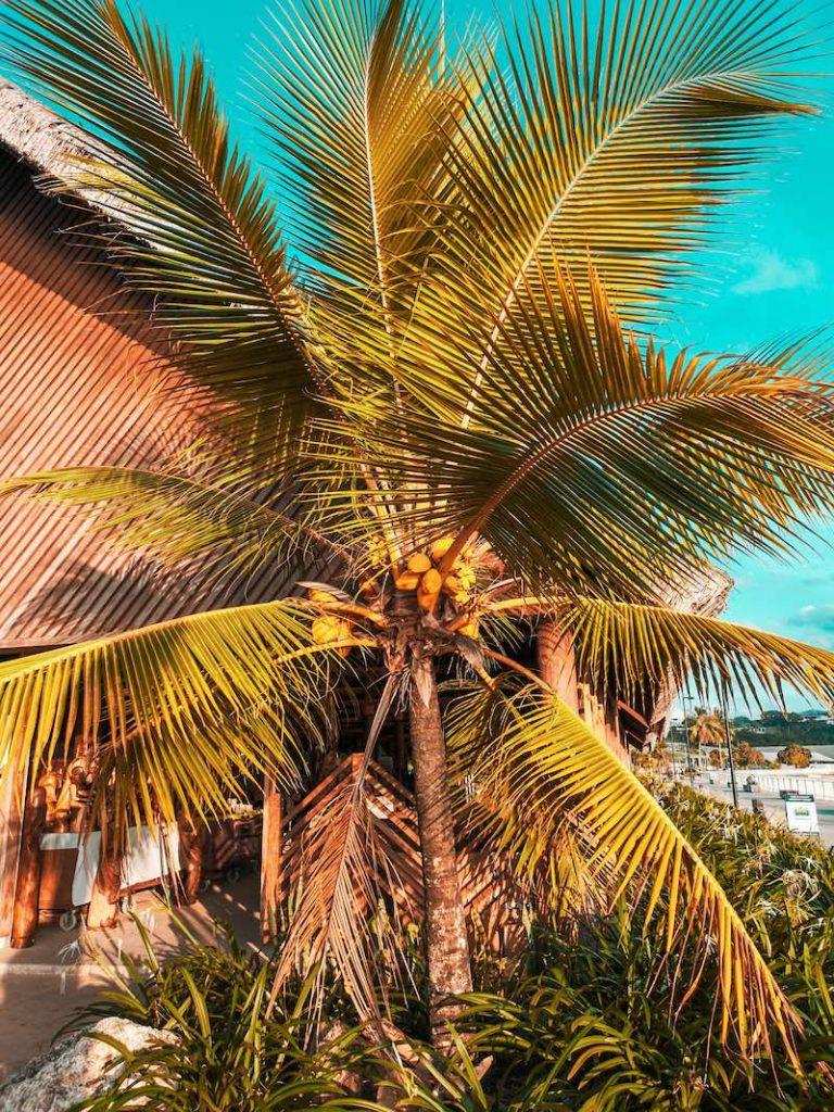 Palmier à Port Vila au Vanuatu