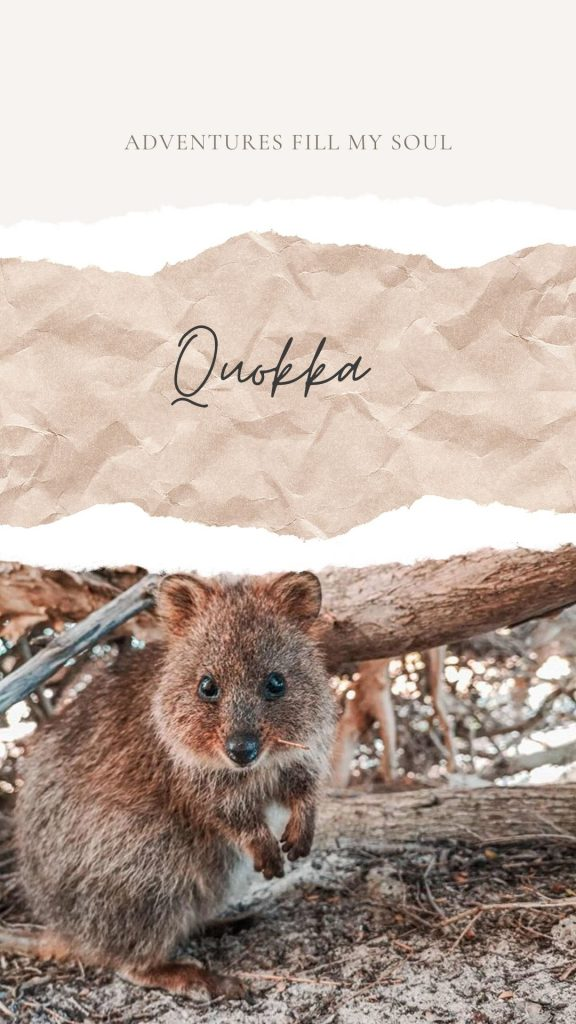 Quokka souvenir Australie