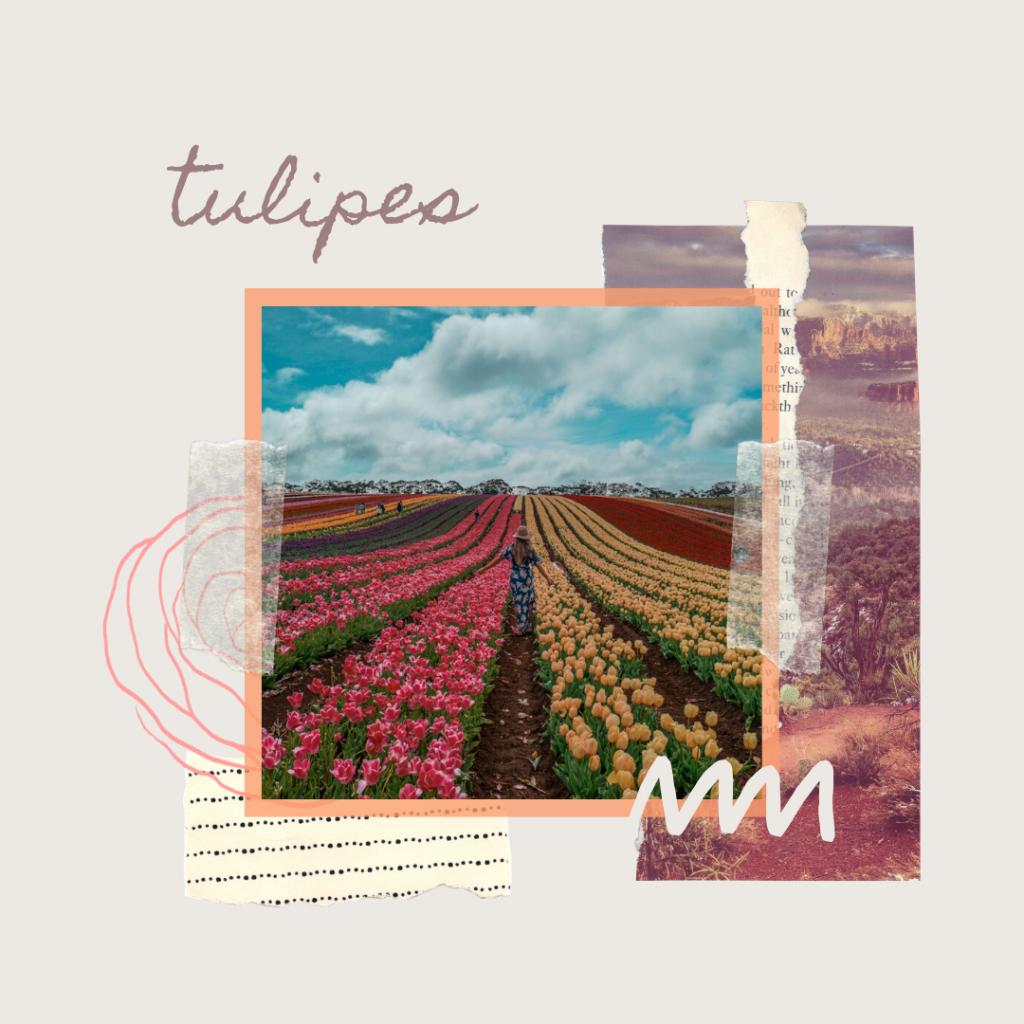 Tulipes road trip tasmanie